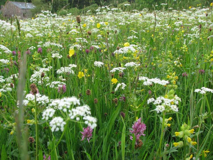 Hay / Wild Flower meadow Low Gillerthwaite